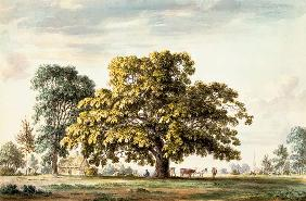 A Walnut Tree at Denton, near Grantham  and