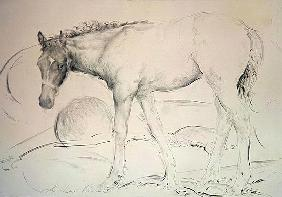 Horse at Coolmore, 1990 (charcoal on paper)