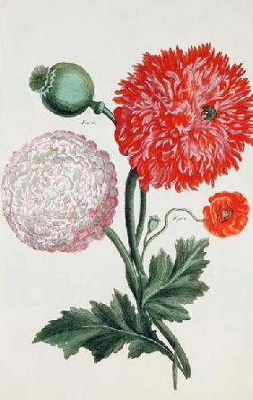 Papaver somniferum and Papaver rheas engraved by German School 18th century