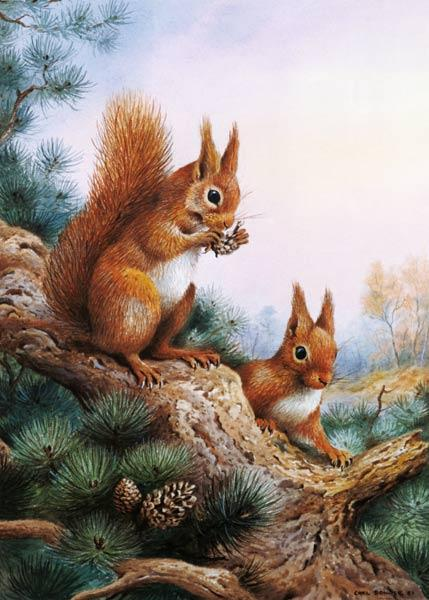 Pair of Red Squirrels on a Scottish Pine