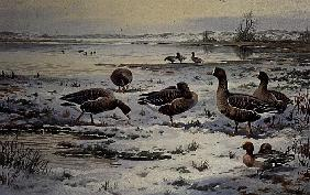 White Fronted Geese (w/c)