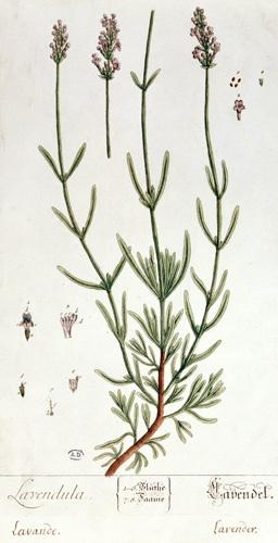 Lavender, plate from 'Herbarium Blackwellianum' by the artist