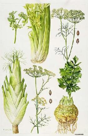 Celery, Fennel, Dill and Celeriac (w/c)