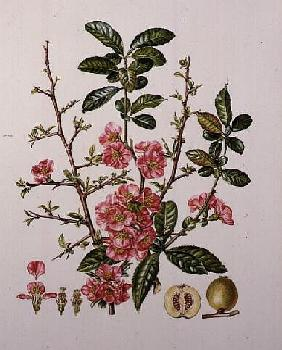 Japanese Quince (w/c)