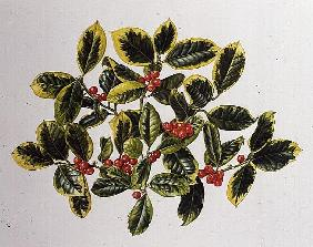 Varigated Holly or Golden King, 1994 (w/c)