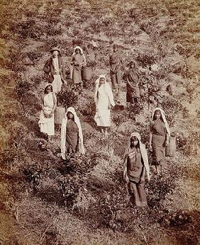 Tea Pickers in Ceylon, c.1900 (photo)