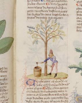 Collecting Turpentine, from 'Grand Herbier' by Pedanius Dioscorides c.40-90 AD)