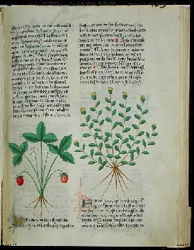 Strawberry Plant, from 'Grand Herbier' by Pedanius Dioscorides c.40-90 AD)
