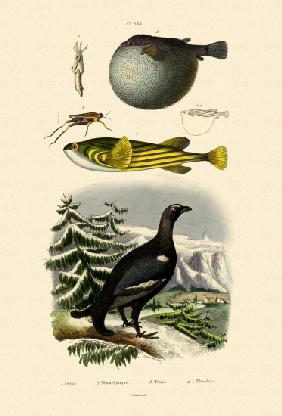 Wood Grouse