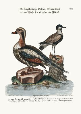 The Long-tailed Duck from Newfoundland, and the Spur-winged Plover