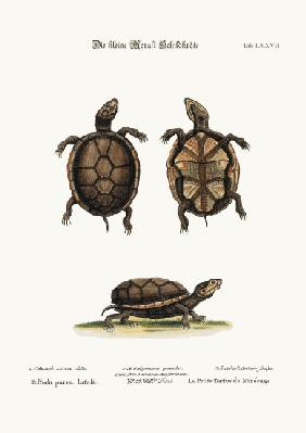 The small Mud-Tortoise