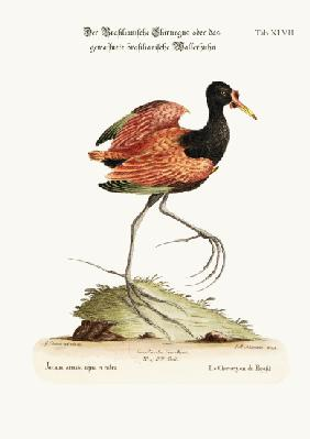 The Spur-winged Water-hen of Brasil