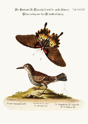 The Wall-creeper of Surinam and the Great Dusky Swallow-tailed Butterfly