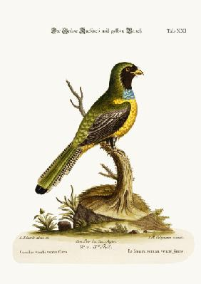 The Yellow-bellied Green Cuckow