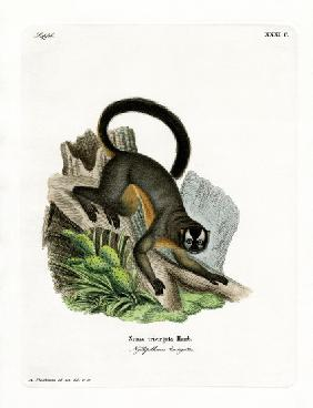 Three-striped Night Monkey