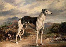 A Greyhound in a hilly landscape