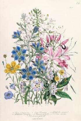 Cornflower, plate 15 from 'The Ladies' Flower Garden'