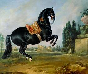 A black horse performing the Courbette, or Croupade