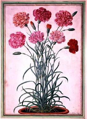 Carnations growing from a pot, plate 25 from the Nassau Florilegium  on