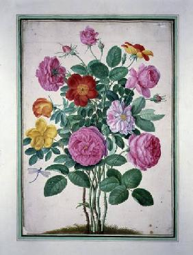 Roses, plate 4 from the Nassau Florilegium  on