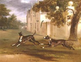 The Earl of Brownlow's two Bull Terriers, 'Nelson' and 'Argo'