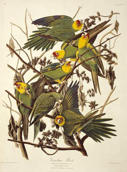 Carolina Parakeet, from 'Birds of America'