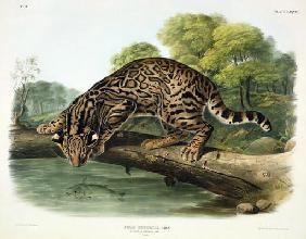 Felis Pardalis (Ocelot or Leopard-Cat), plate 86 from 'Quadrupeds of North America', engraved by Joh
