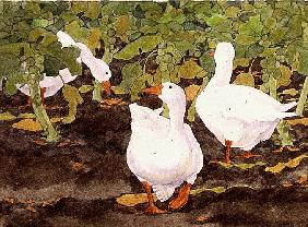 Geese in the Sprouts