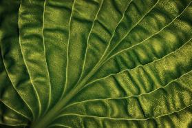 Leaf of a hosta