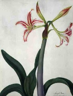 Amaryllis Vitata (w/c and gouache over pencil on vellum)
