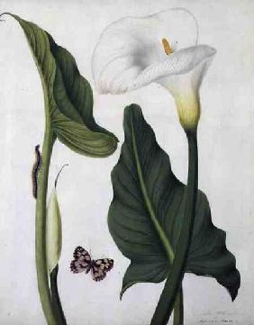 Calla Aethiopica with Butterfly and Caterpillar (w/c and gouache over pencil on vellum)