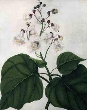 Catalpa Speciosa (w/c and gouache over pencil on vellum)