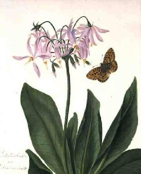 Dodecatheon Meadia and Butterfly (w/c and gouache over pencil on vellum)