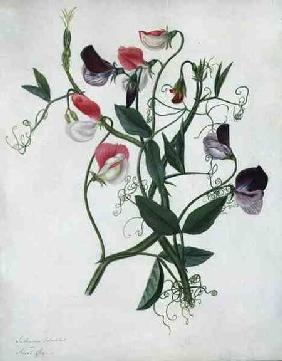 Lathyrus Odoratus (w/c and gouache over pencil on vellum)