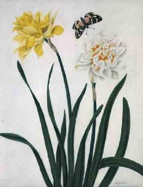 Narcissi and Butterfly (w/c and gouache with gold over pencil on vellum)