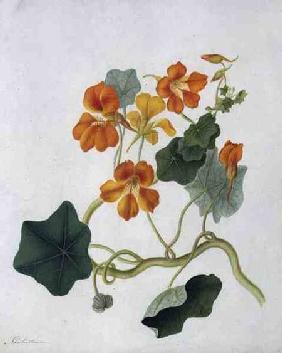 Tropaeolum (w/c and gouache over pencil on vellum)