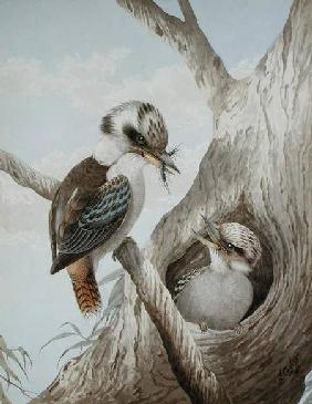 Kookaburras Feeding at a Nest in a Tree