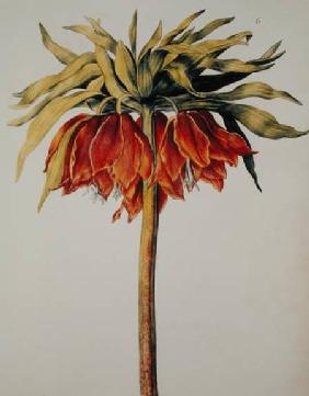 Crown Imperial Lily or Fritillary, from 'La Guirlande de Julie'
