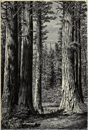 Yosemite National Park, Redwood trees