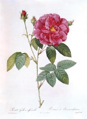 La rose Rosa Gallica officinalis