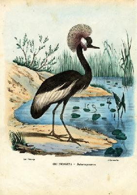 Black-Crowned Crane