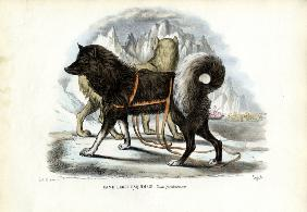Inuit Sled Dog