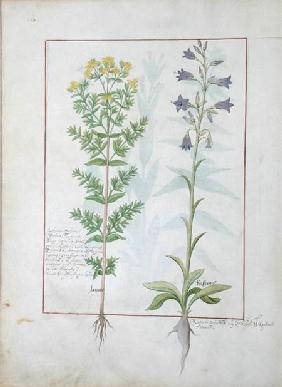 Two flowering plants from 'The Book of Simple Medicines' by Mattheaus Platearius (d.c.1161)