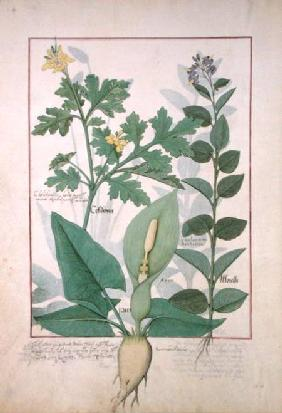 Ms Fr. Fv VI #1 fol.113v Greater Celandine or Poppy, Solanum or Nightshade, and Aron