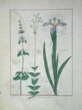 Ms Fr. Fv VI #1 fol.115v Lamium Album or White Dead Nettle, Melandryon, and Iris Minor