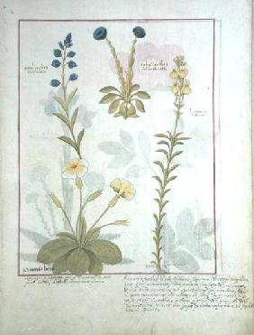 Ms Fr. Fv VI #1 fol.117 Top row: Onobrychis or Sainfoin, and Aphyllanthes. Bottom row: Linaria Lutea