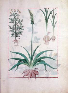 Ms Fr. Fv VI #1 fol.119r Garlic and other plants