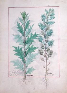 Ms Fr. Fv VI #1 fol.120r Two varieties of Artemesia illustration from 'The Book of Simple Medicines'