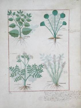 Ms Fr. Fv VI #1 fol.123r Top row: Salt Bush and Anthora. Bottom row: Absinthium and Cardamom