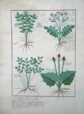 Ms Fr. Fv VI #1 fol.123v Top row: Ligustrum and Acanthus. Bottom row: Grass plant and Apollinaris, i